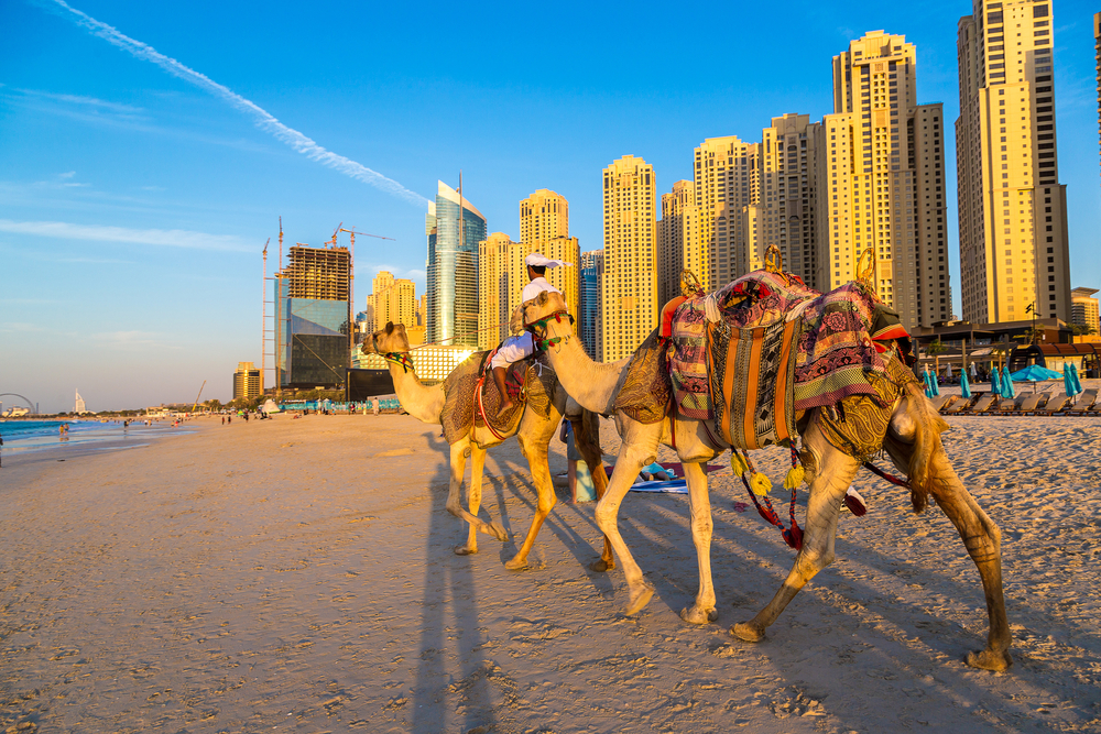 גמלים על החוף בדובאי